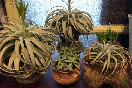 コトハナムの店内鉢植え
